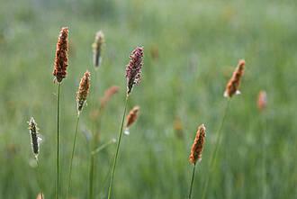 Einige Pollenallergiker reagieren auf Gräserpollen