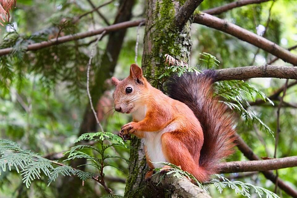 Eichhörnchen, Creutzfeldt-Jakob-Krankheit