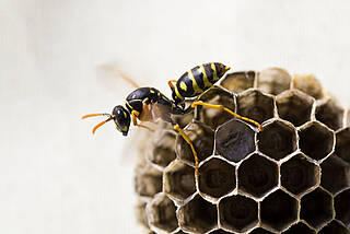 wespe, wespenstich, insektengift, allergie, anaphylaktischer schockhy