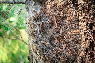 Eichenprozessionsspinner: Brutnest an einer Baumrinde