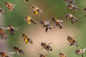 Polizeibienen, Bienen, Drogenfahnung