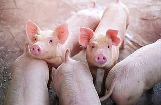 Afrikanischen Schweinepest, Mensch