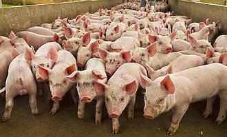 Die Afrikanische Schweinepest ist in Deutschland angekommen. Ein guter Zeitpunkt, über den Konsum von Schweinefleisch nachzudenken