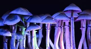 Magic Mushrooms, Pilze, psilocybinhaltige Pilze