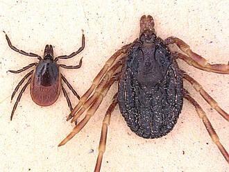 zecken, zeckenbiss, gemeiner holzbock, parasiten, Borrreliose, FSME