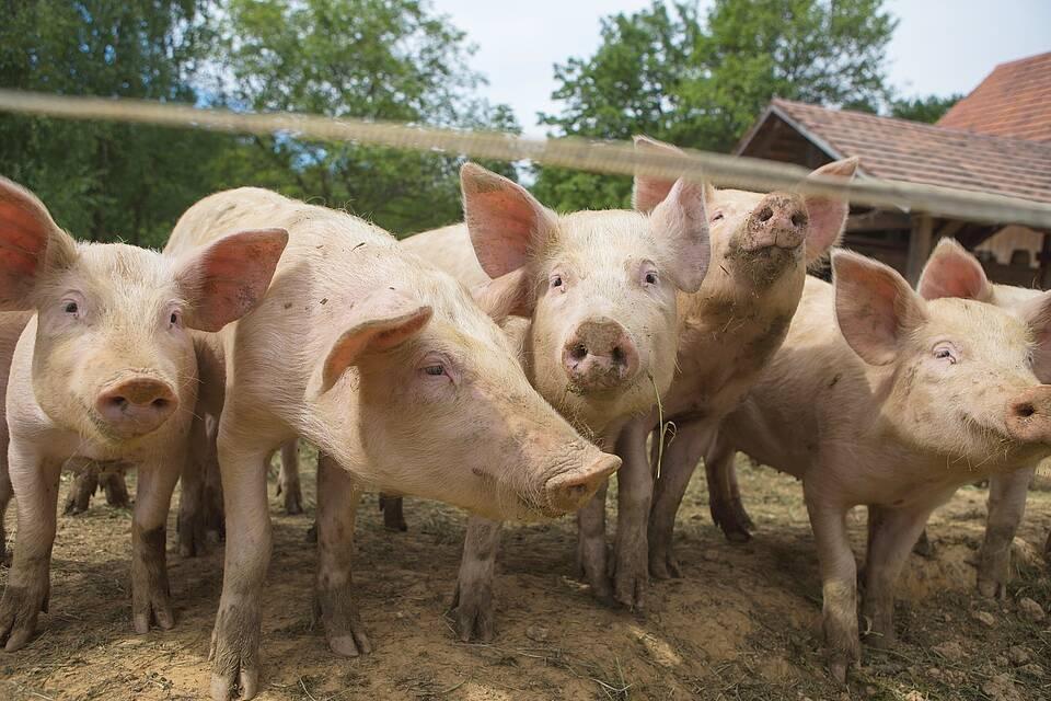 Hausschweine in Freilandhaltung vorm Stall.