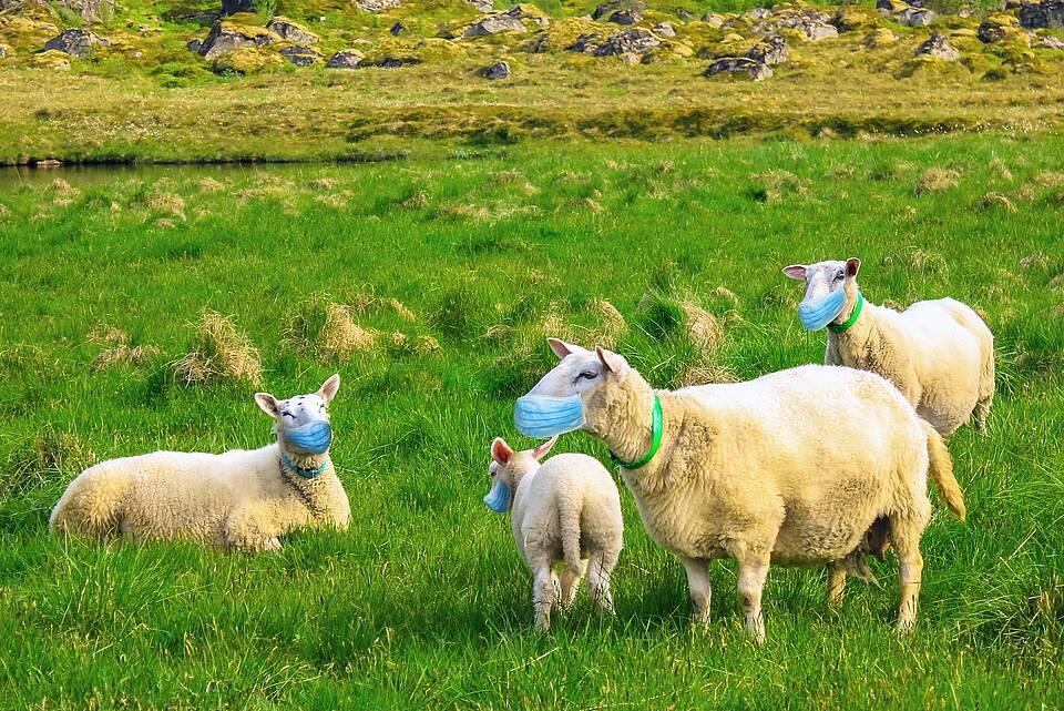 Kleine Schafherde auf einer Wiese mit grünen Coronamasken vor der Schnauze.