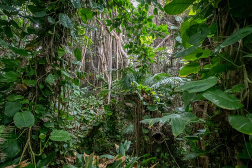 regenwald, urwald, tropischer regenwald, lianenn
