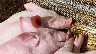 Die Wissenschaft will in Schweinen Organe züchten. Die Hürde der Retroviren PERV wurde jetzt überwunden