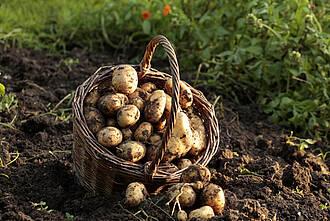 Bio-Kartoffeln, Bio-Gemüse, ökologischer landbauebensmittel