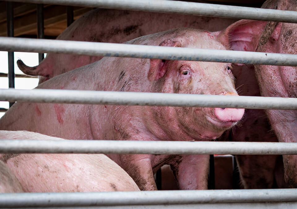 Gequälte Tiere: Fleischwerbung verschweigt die Wahrheit über die Herkunft von Fleisch