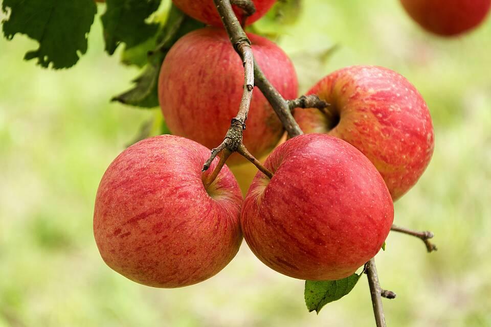 Vier rote Äpfel hängen an einem Apfelbaum.