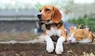 Ziemlich beste Freunde: Katzen werden vom Coronavirus krank, Hunde nicht, können sich aber auch infizieren