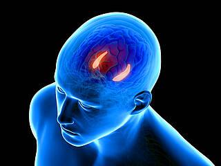 Gehirn- Hippocampus - das Lern- und Gedächtniszentrum.