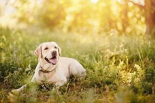 Wegen der Gefahr eines Sonnenbrands, sollten Hunde vor zu viel UV-Licht geschützt werden