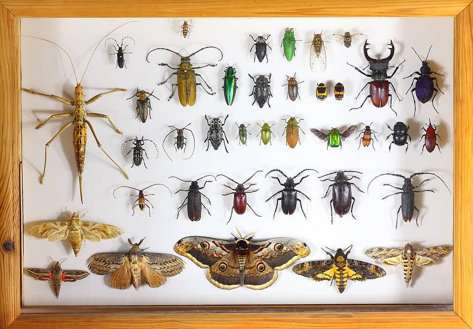 Schaukasten mit aufgespießten Insekten.