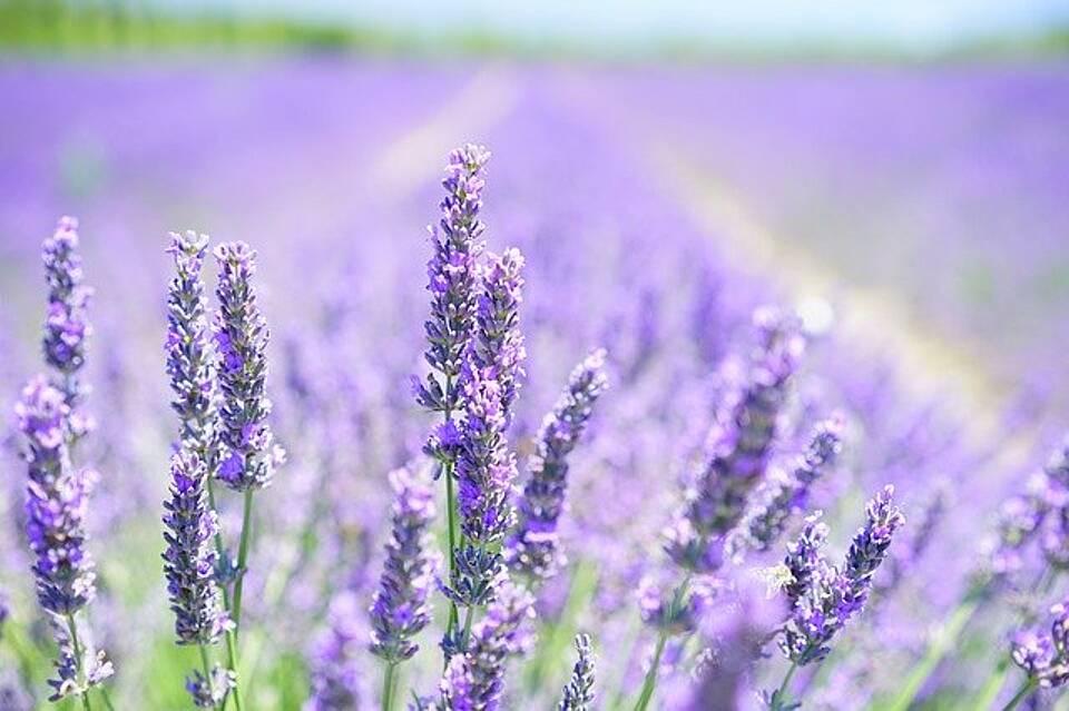 Heilpflanze 2020: Lavendel wirkt angstlösend, entspannend und entzündungshemmend
