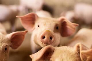 Schweine könnten künftig als Ersatzteillager für menschliche Organe dienen. Viele halten das ethisch nicht für vertretbar