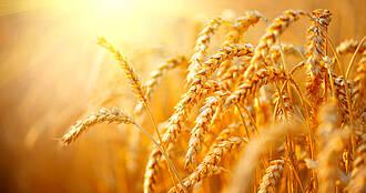 Moderne Weizensorten enthalten nicht mehr Gluten als alte. Trotzdem nehmen Glutenunverträglichkeiten zu