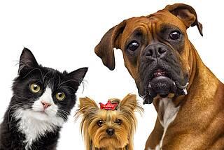 Katze, Schoßhund mit Schleifchen, Boxer