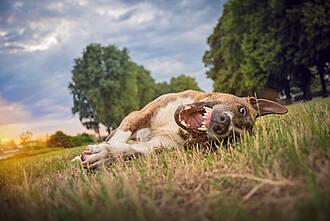 Hund räkelt sich auf Wiese mit gefletschten Zähnen