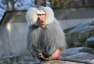 Einige Affenarten können eine AIDS-Erkrankung dauerhaft verhindern, obwohl sie mit Verwandten des HI-Virus infiziert sind