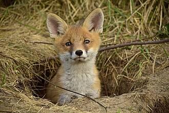 Füchse in Deutschland haben keine Tollwut mehr, aber sie übertragen den gefährlichen Fuchsbandwurm