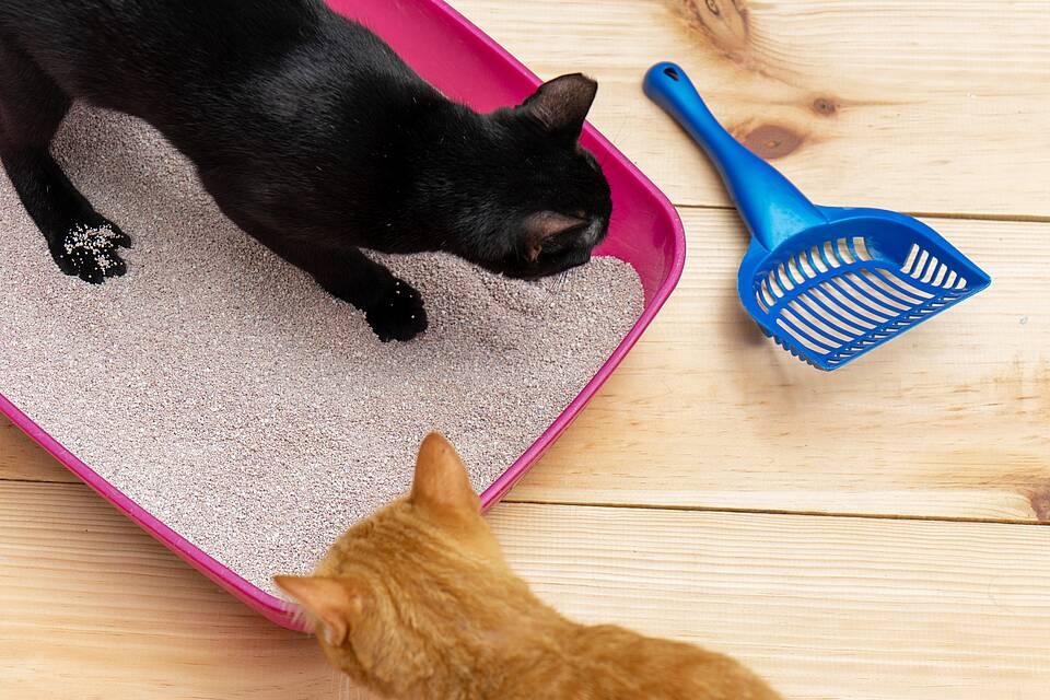 Zwei Katzen in und an der Katzentoilette, blaue Plastikschaufel für den Kot.