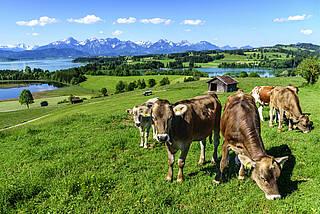 Kuhwiese im Alpenvorland im Allgäu - ein FSME-Risikogebiet.