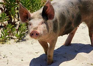 Spenderherzen könnten künftig vom Schwein stammen