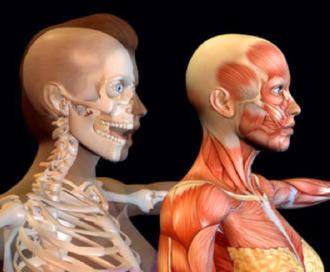 Im Körperwelten-Museum sind plastinierte Körper zu sehen.