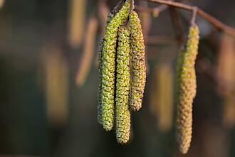 Haselnussbäume gehören zu den Frühblühern