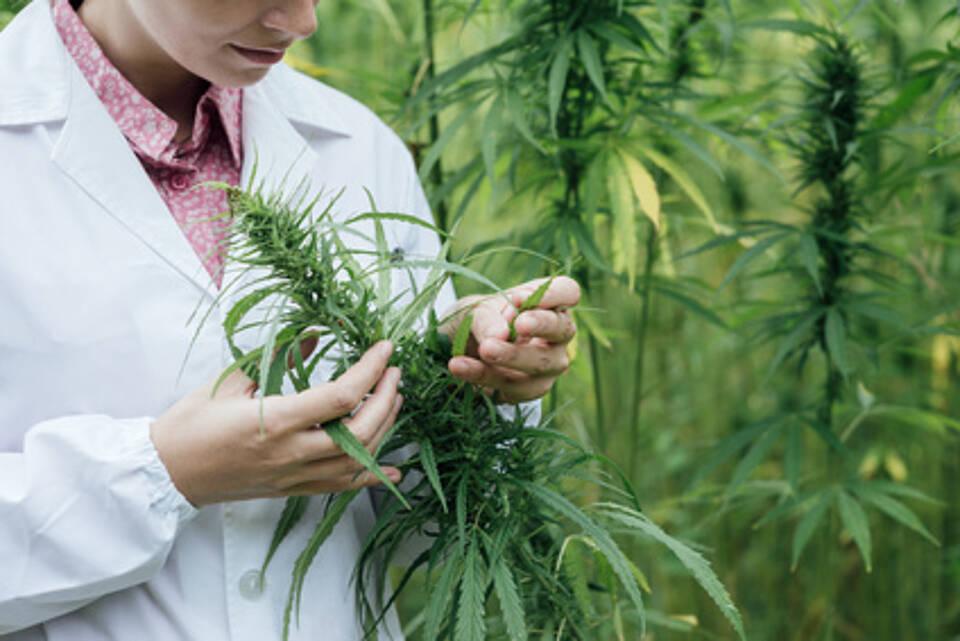 Cannabis-Feld, Person prüft Pflanzen in der Hand