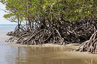 Mangrovenbäume gedeihen in tropischen Zonen