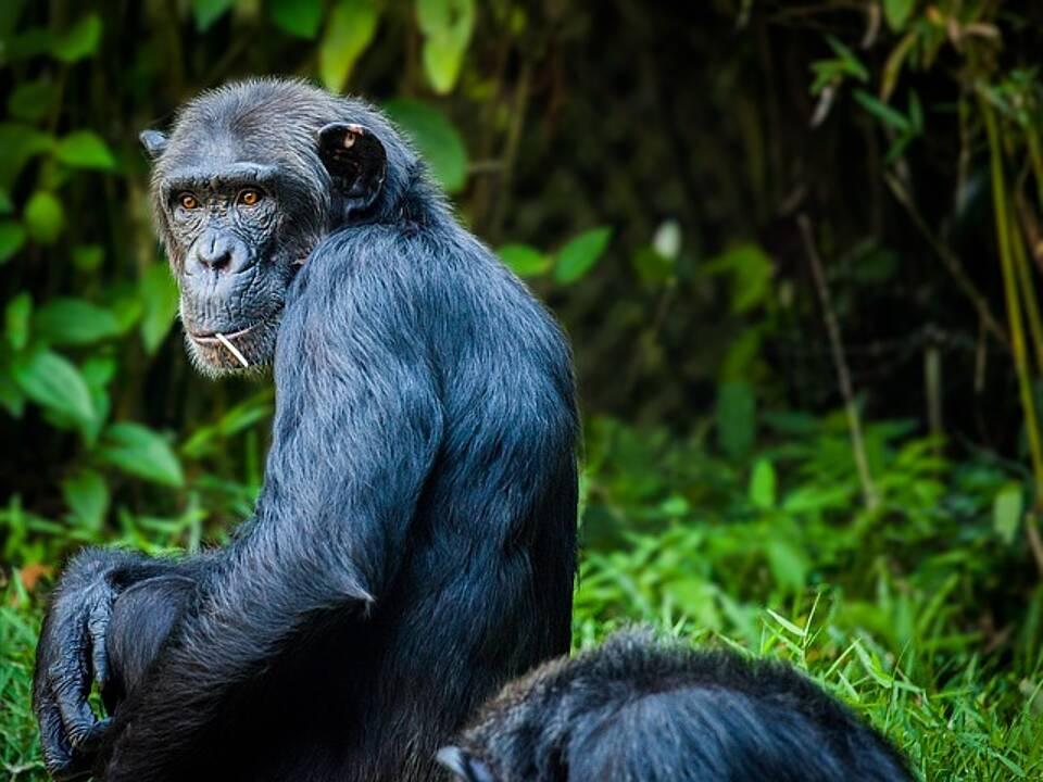 Im Taï-Nationalpark sind fast 40 Prozent aller toten Tiere dem tropischen Milzbrand-Erreger zum Opfer gefallen
