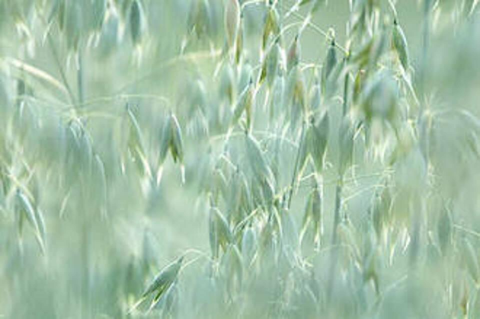 Der Saat- oder Weiße Hafer
