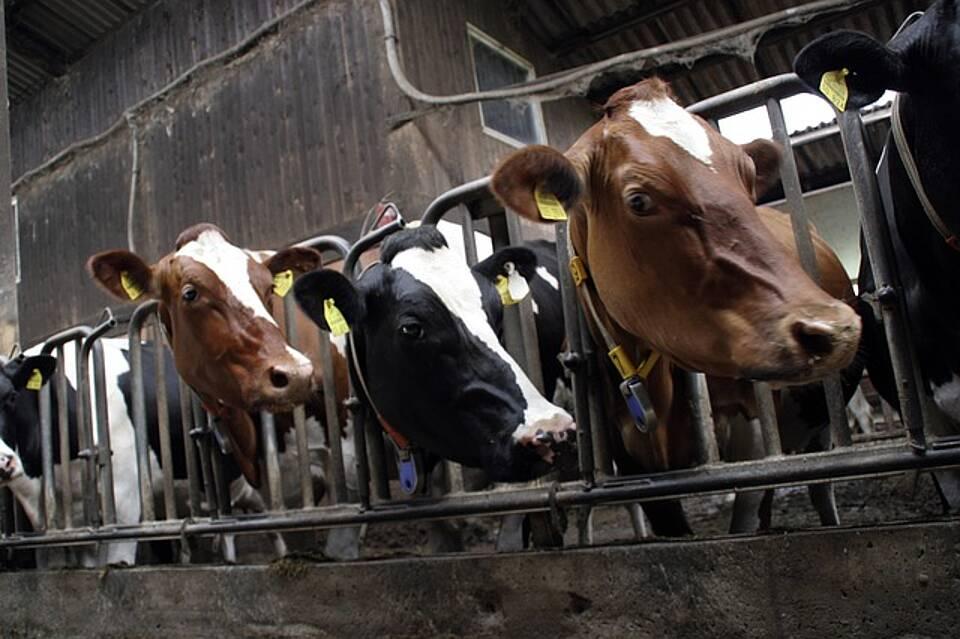 Gefangen und Antibiotika im Futter: Die WHO will die routinemäßige Verfütterung von Antibiotika jetzt mit einer Richtlinie stoppen