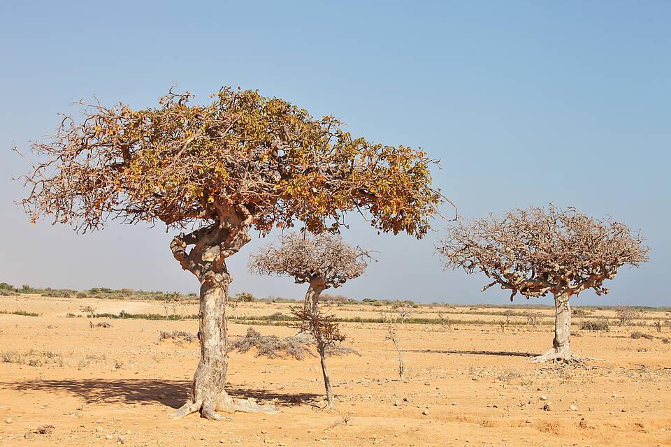 Myrrhenbaum (Commiphora myrrha)
