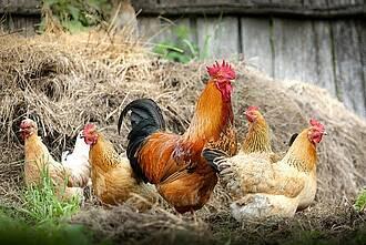 Das Vogelgrippevirus kann sich in menschlichen Zellen schlecht vermehren