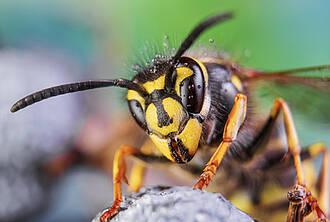 Wespe, Großaufnahme von vorne