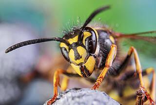 Ein Wespenstich ist schmerzhaft, aber meist ungefährlich