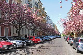 Straßenbäume - blühende Kirschen.