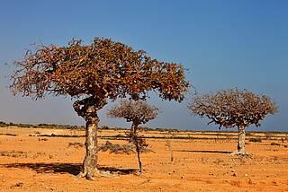 Myrrhebaum
