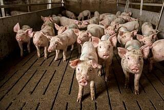 Potenzial für die nächste Pandemie: Schweine sind das Reservoir für neue Influenzaviren