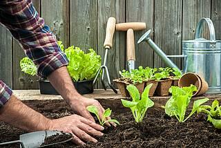 Männerhände pflanzen Salatpflänzchen an.