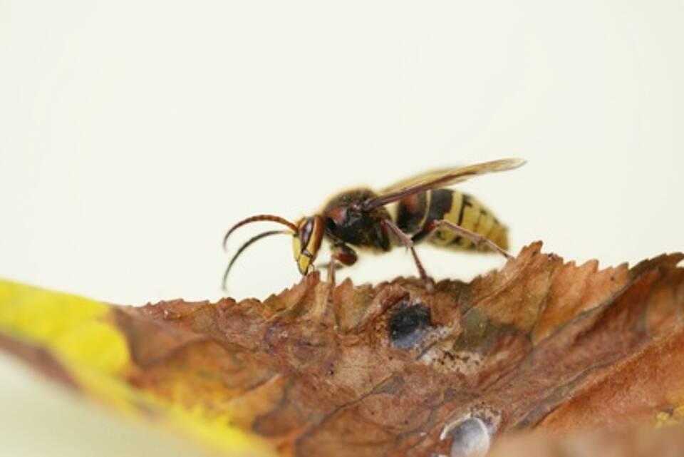 Neue Hoffnung für Wespengift-Allergiker: Ein neuer Test ermöglicht die Wahl des richtigen Impfstoffs
