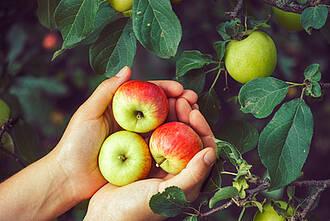 äpfel, ernährung, obst, ernte