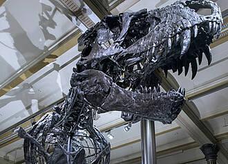 T-Rex Tristan ist einmalig: Einzelne Knochen werden an der Charité durchleuchtet