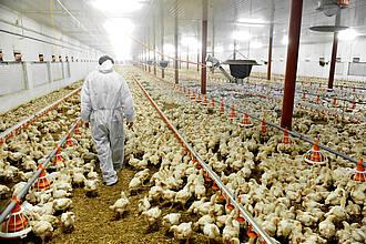 Menschen erstmals mit Geflügelpest infiziert: Die Massentierhaltung bringt auch Menschen in Gefahr, wie der aktuelle Fall aus Russland zeigt