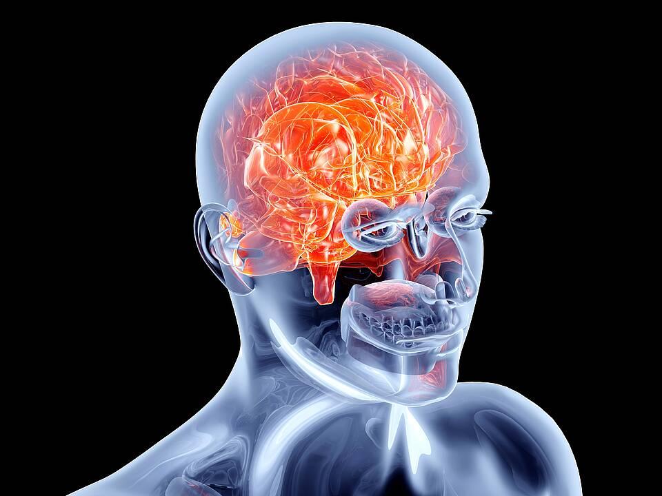 Gehirn und menschlicher Schädel - graphische Darstellung